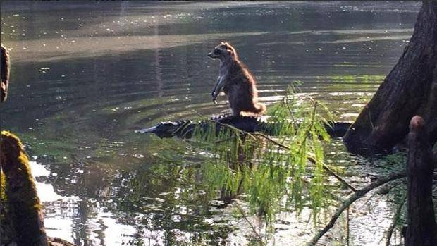 Raccoon riding on Alligator