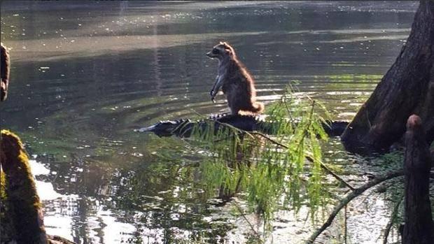 Raccoon riding on Alligator