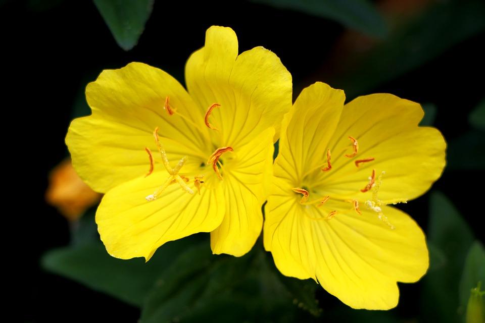 evening-primrose flower